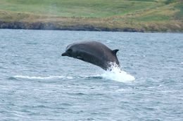 Bottlenose whale by Akureyri, North Iceland, this summer.