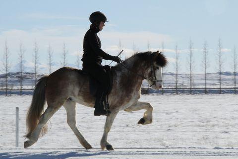Ellert from Baldurshagi ridden by Rósa Birna Þorvaldsdóttir.
