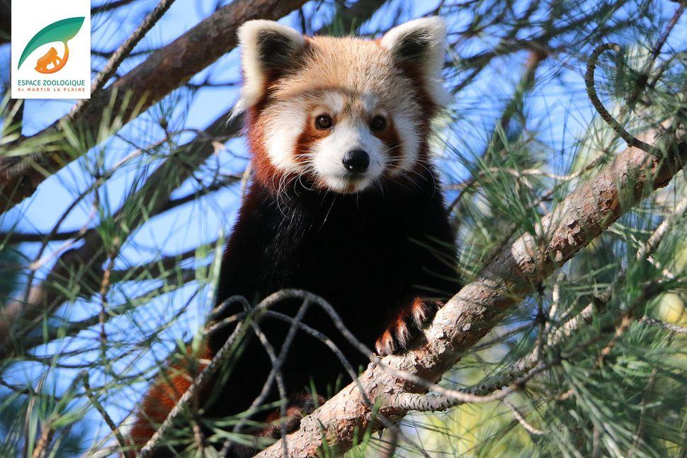 Samkvæmt starfsfólki St Martin la Plaine-dýragarðsins slapp pandabjörninn með því ...