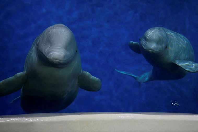The belugas Little White and Little Gray are scheduled to arrive in Keflavík on April …