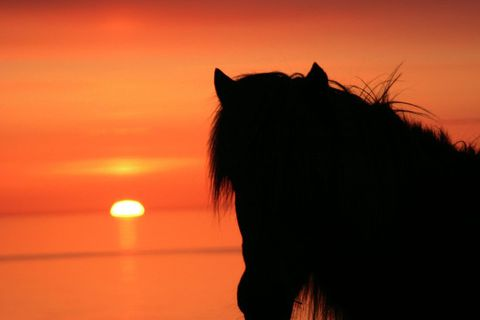 The horse came to Iceland with the settlers from Norway some 1100 years ago.