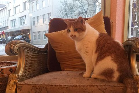 Músó the cat is happy living in Kattakaffihúsið but is looking for a forever home.