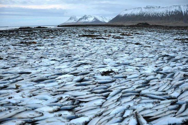 Í gær var gríðarlegt magn af síld í öllum fjörum við Kolgrafarfjörð.