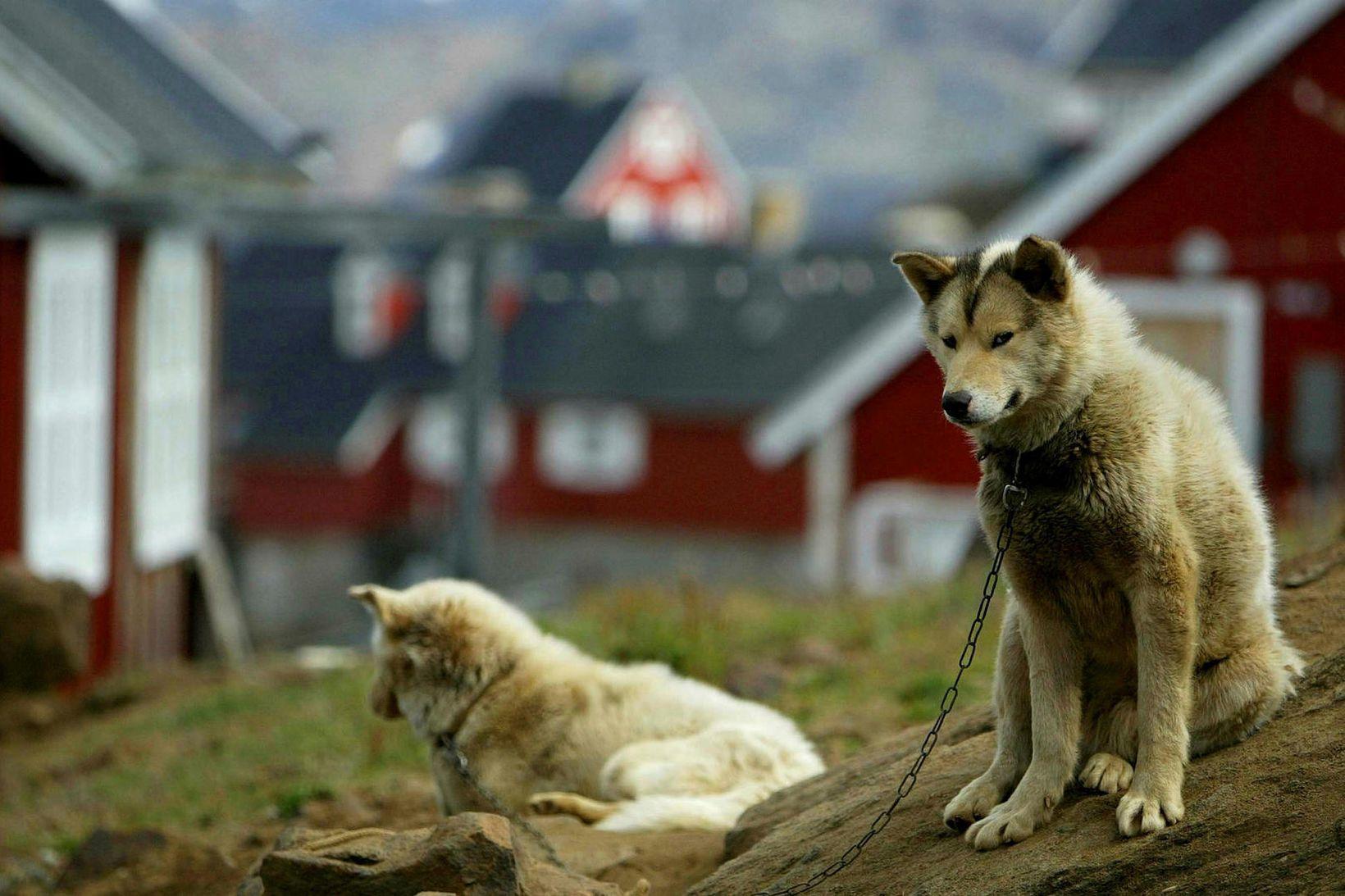 Sleðahundar. Hundasleðaferð er sérstök lífsreynsla. Mynd frá Grænlandi.