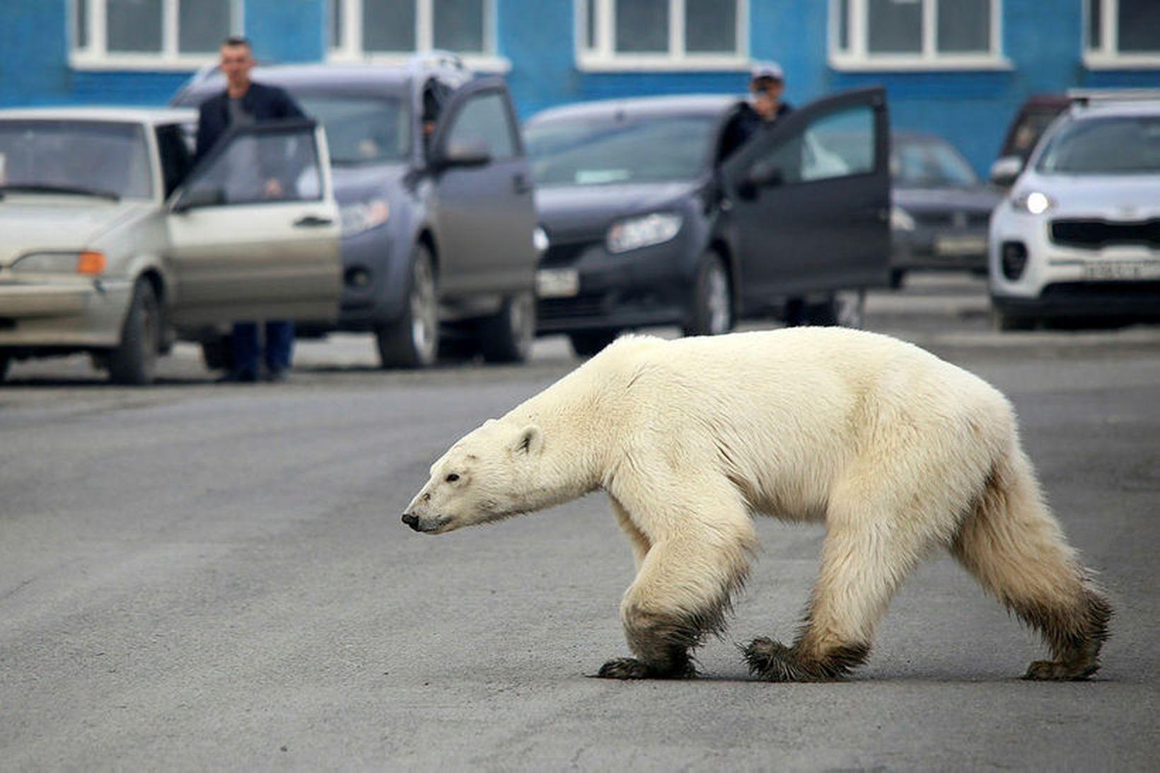 Ísbjörninn í göngutúr í Norilsk.
