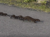 Minks are aggressive and prey on bird colonies and farm animals.