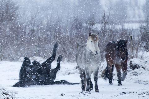 The Icelandic horse has a thick coat during the winter which it sheds in spring. Many horses spend the winter outside, which they enjoy.