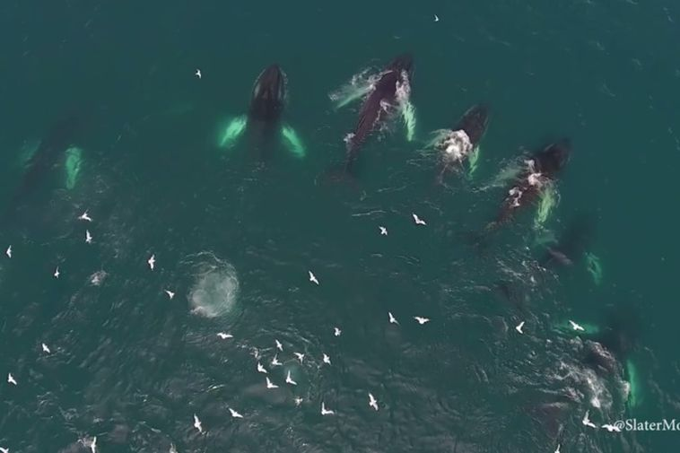 Humpback whales are 13-17m long and weigh 25-40 tons.