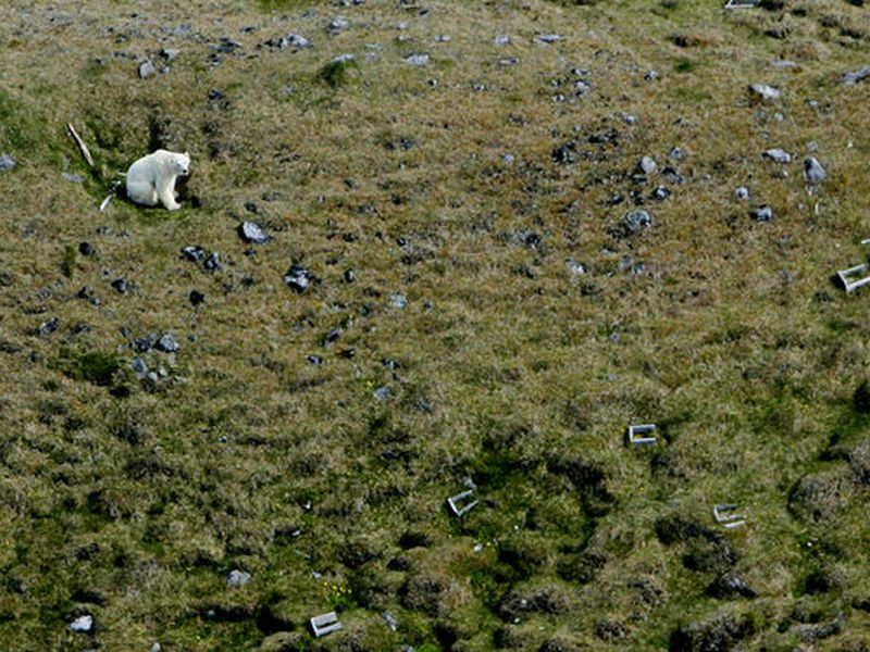 A photo of a polar bear spotted in Skagafjörður, North Iceland in 2016. The polar bear was near a farm where children were playing. It was shot by local police.