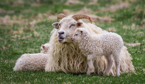 Hjálpar hundruðum munaðarlausra lamba