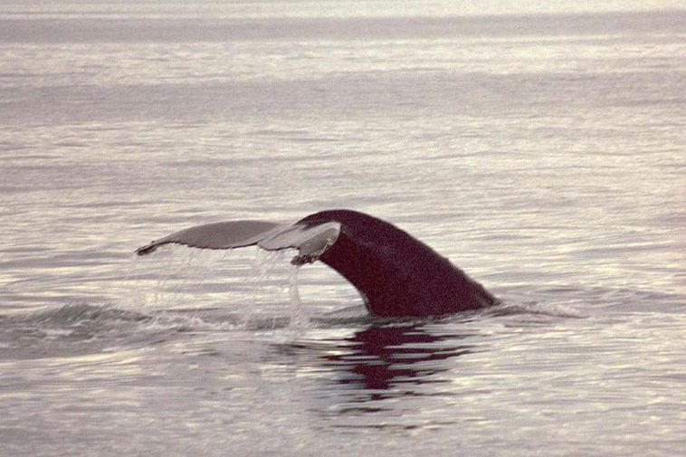 The new report from the Institute of Economic Studies states that the Iceland's whaling operations …