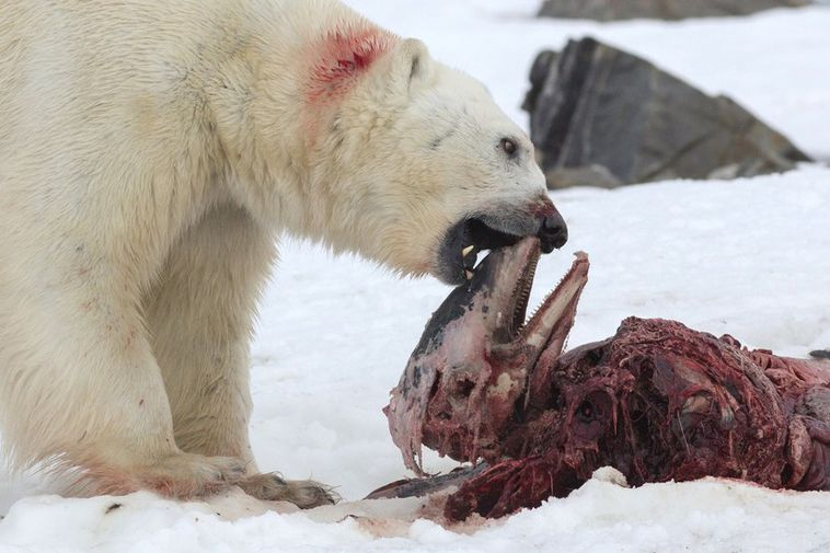 A polar bear eating a seal in Svalbard.