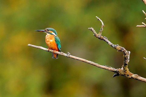 The unique visitor, the common kingfisher.