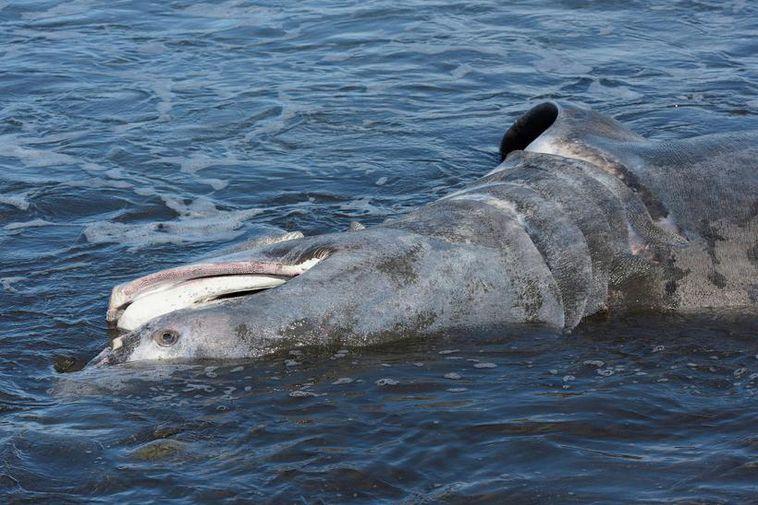 A dead basking shark on the beach in Ólafsfjörður.