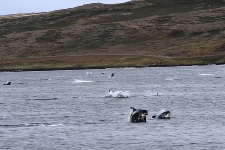 Ain't no party like a white-beaked dolphin party.