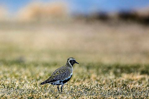 The European golden plover has made a safe landing.