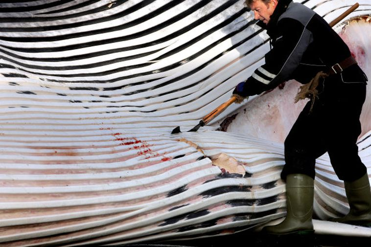Fin whale caught in Iceland. The current quota is for 154 animals per year.