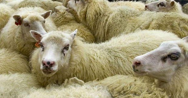 Lambakjöt er á meðal þess sem flutt er út frá Íslandi.