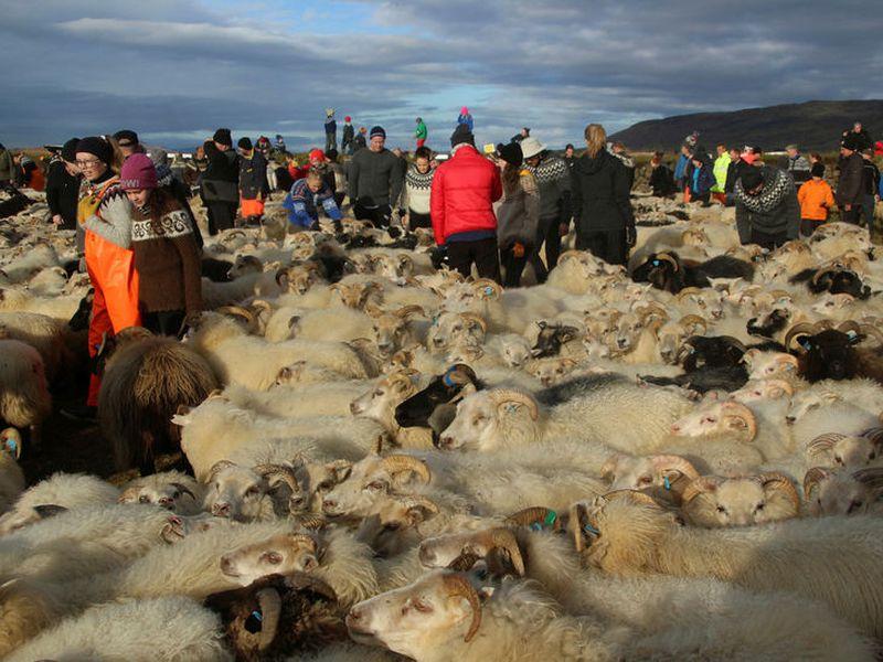 Sheep herding at Reykjaréttir on Saturday.