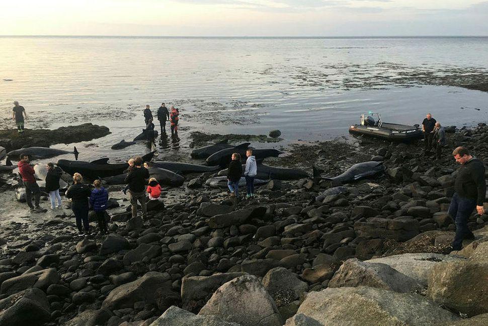 Grindhvalir strand í Garði.