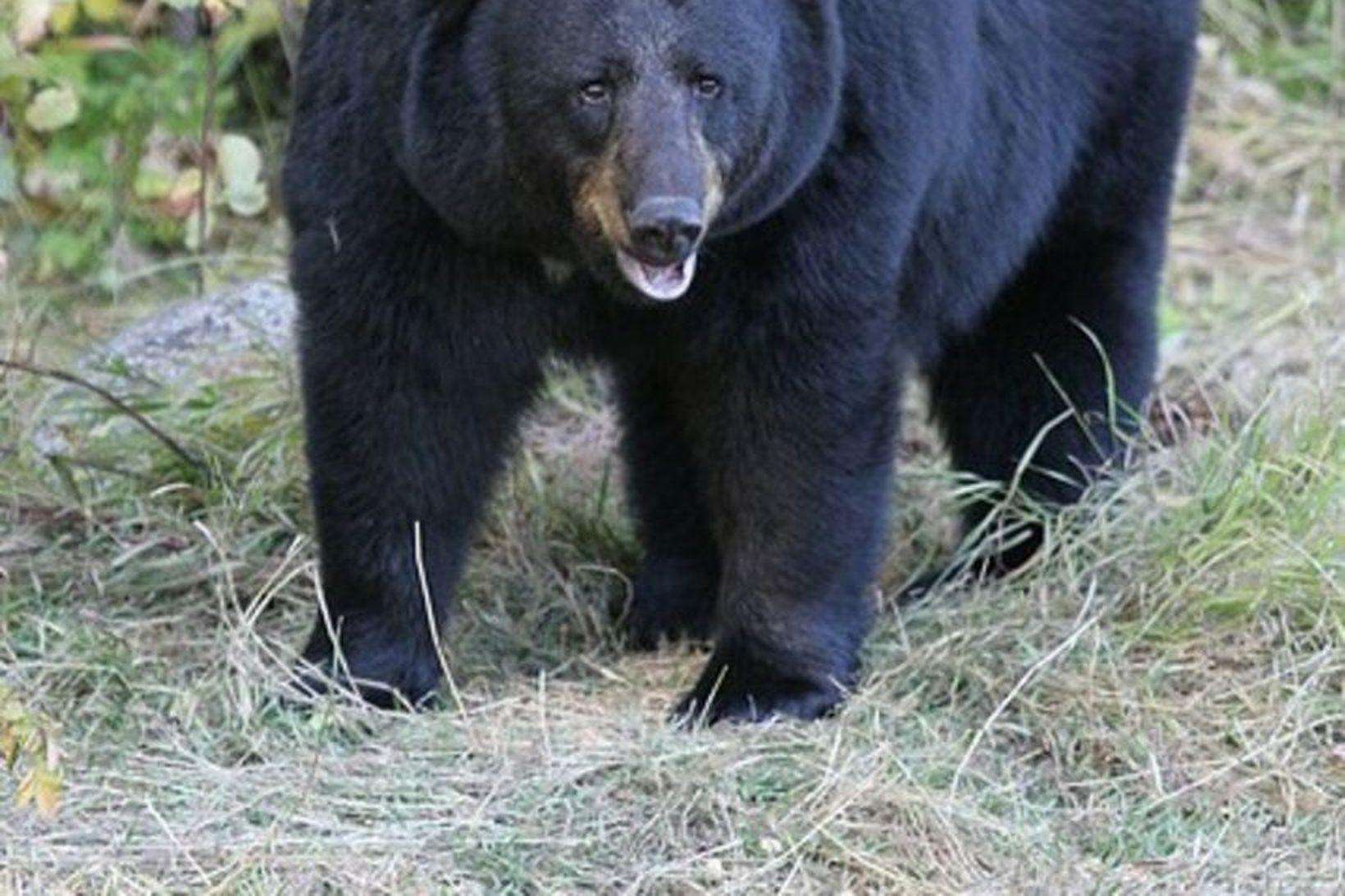 Amerískur svartbjörn.