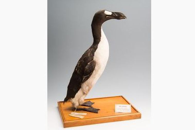 And here it is, the last male great auk.