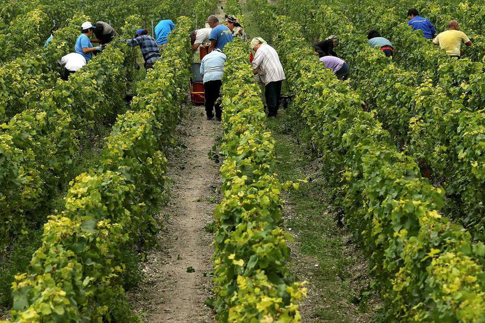 Vínið skorið á ekru Pommery-Vranken við Reims í Frakklandi í …