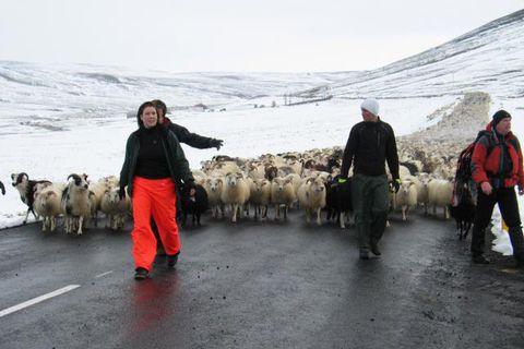 Smalað verður á afréttum á öllu Norðurlandi á morgun. Þetta er um hálfum mánuði fyrr ...