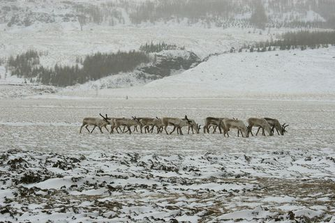 Icelandic reindeer in winter.