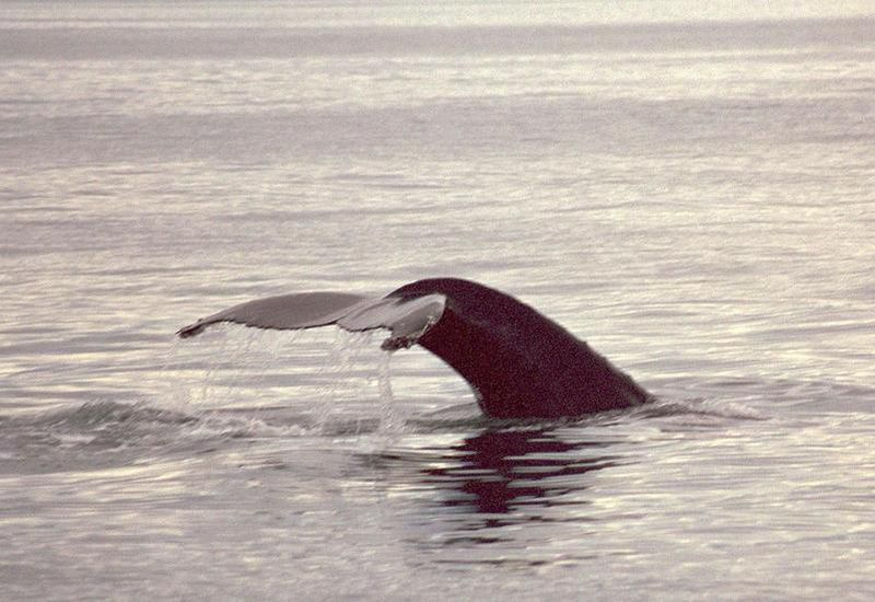 The new report from the Institute of Economic Studies  states that the Iceland's whaling operations have absolutely no effects on the tourist industry in Iceland.