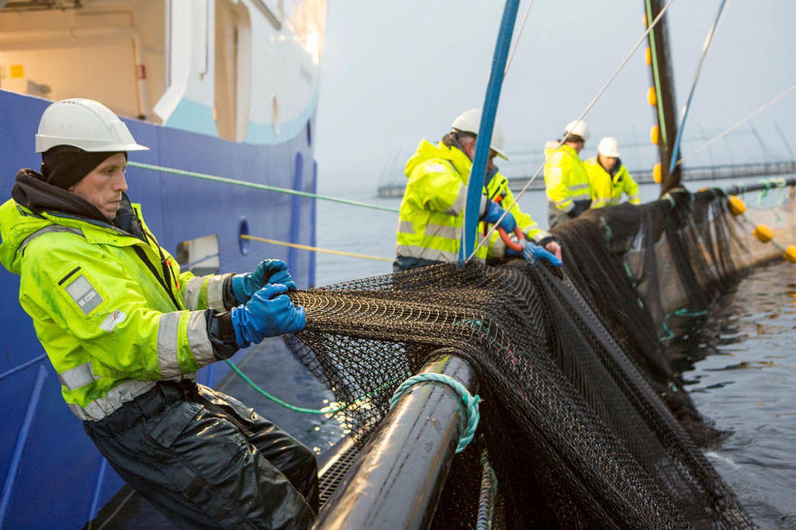 Útflutningstekjur af fiskeldi hafa aukist mikið milli ára og stefna …