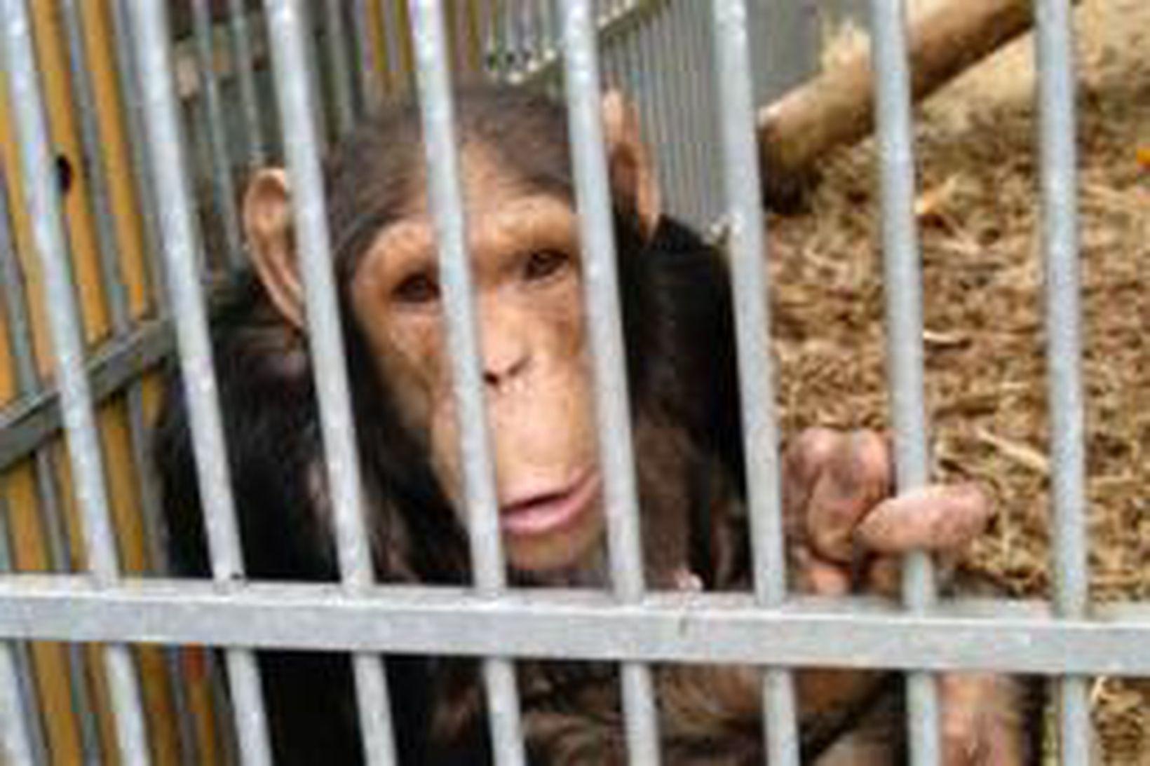 Simpansi í búri.