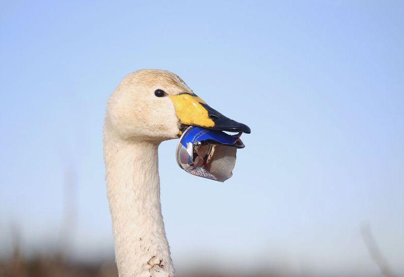 The poor swan has an aluminium can stuck to its beak.