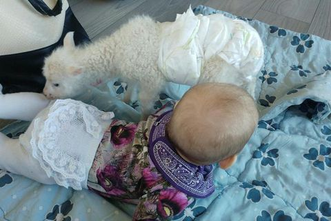 Lúlli the lamb loves cuddling up with Hekla, four months old. Both wear diapers.