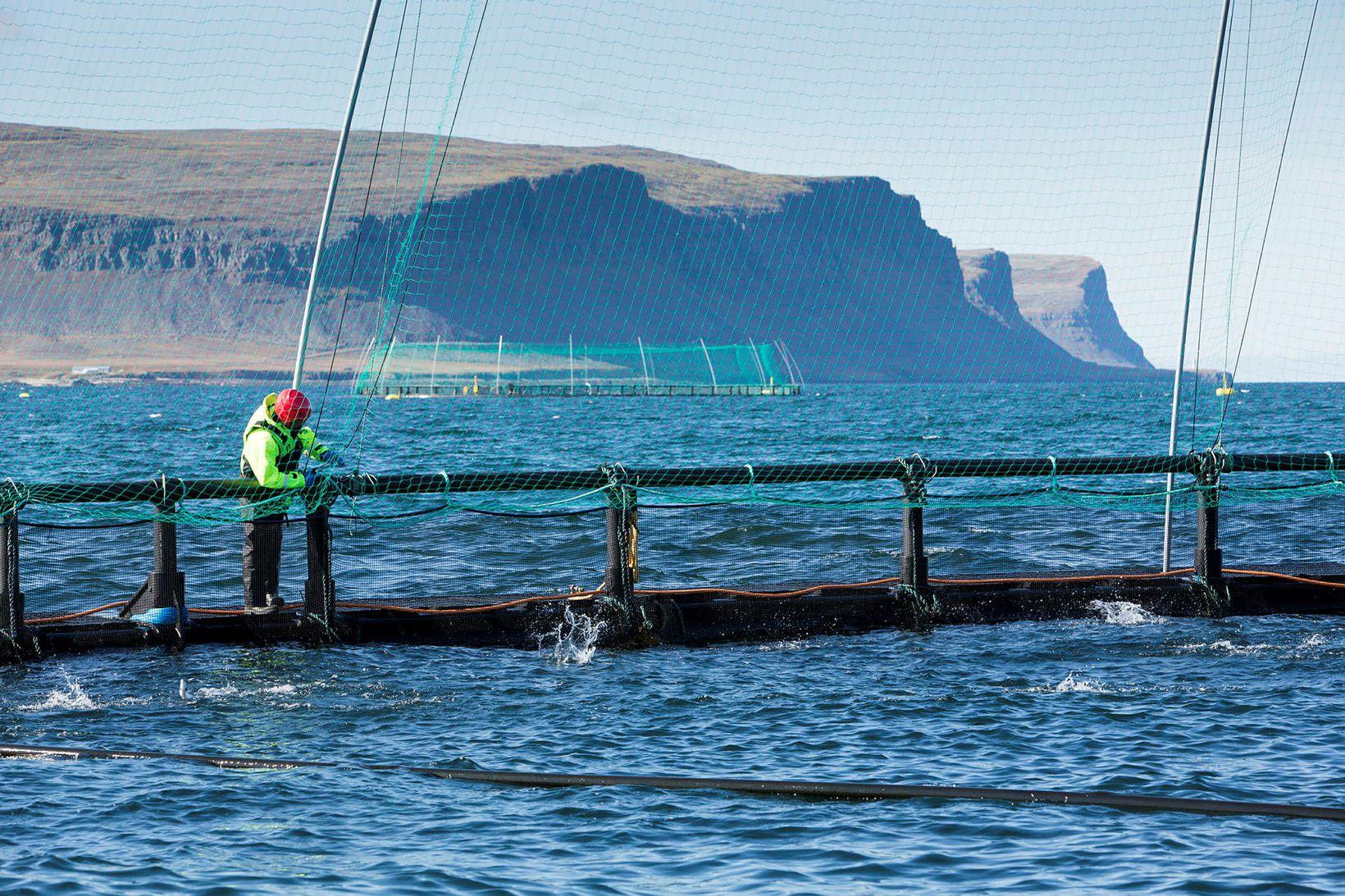 Unnið við sjókvíar hjá Arctic Fish á Vestfjörðum. Forstjóri fyrirtækisins …