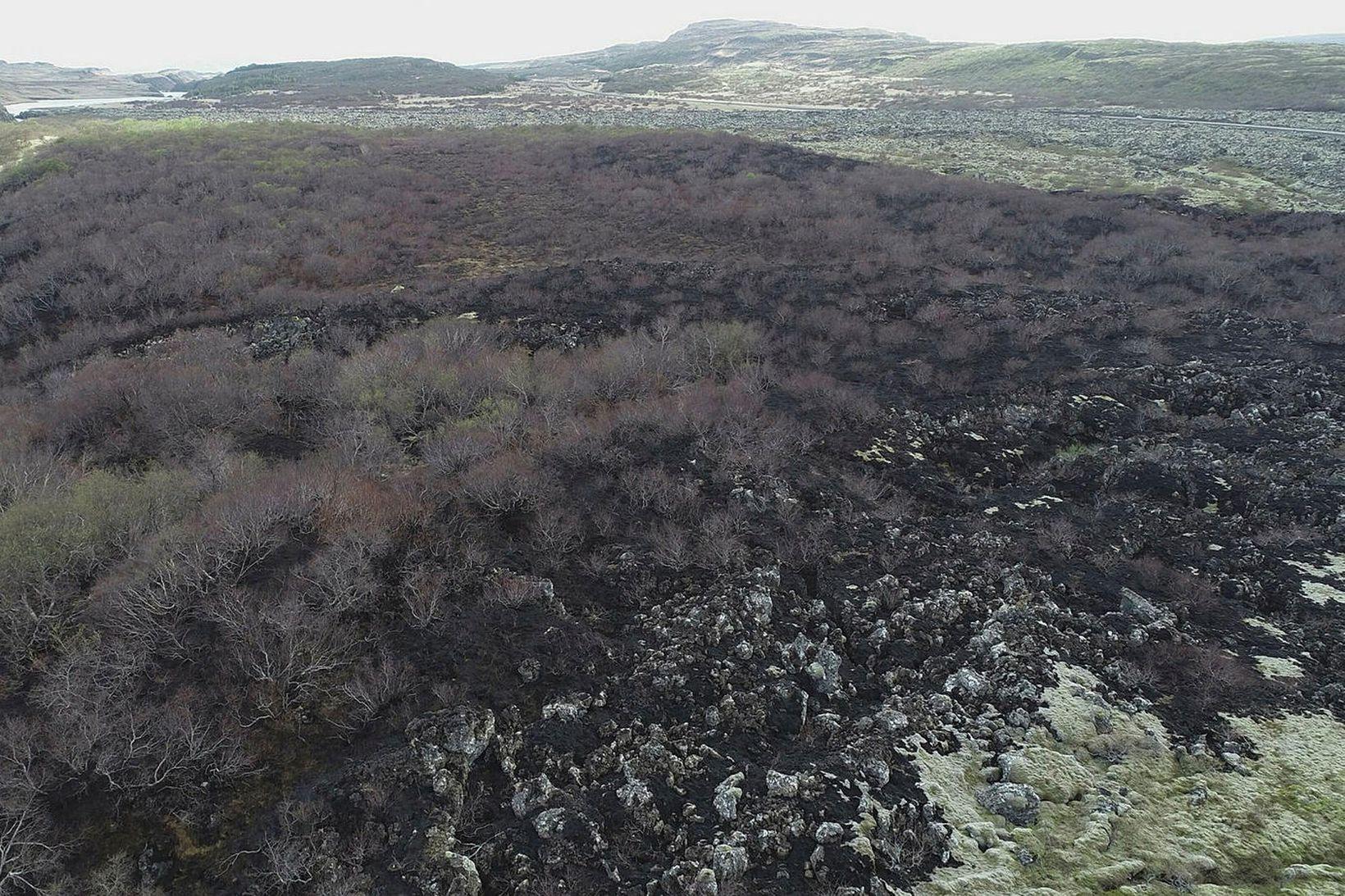 Gamall birkiskógur á milli Grábrókarhrauns og Norðurár er illa farinn …