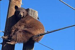 Björn rólegur á rafmagnsstaur.