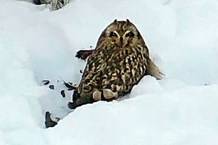 This owl was spotted in a garden in Vesturgata yesterday.