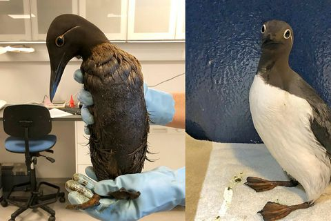 A common murre, drenched in oil, left, and after being cleaned by Sea Life Trust.