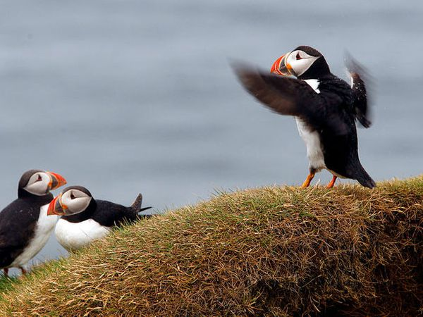 The puffin has made a landing in Vestmannaeyjar islands.