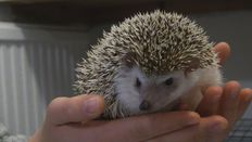 Bernie- the first hedgehog in Iceland