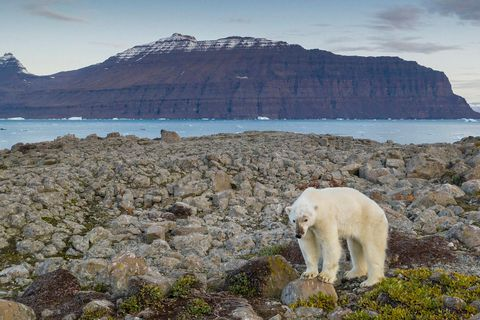 Polar bear in Greenland.