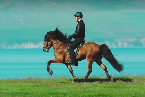 """Stallion Narfi showing the unique """"tölt"""" gait where the rider sits still in the saddle."""