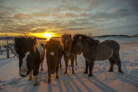Victor Örn Victorsson / Strandahestar / Horse Rental