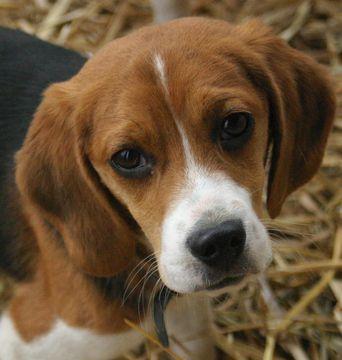Bilderesultat for hundar beagle