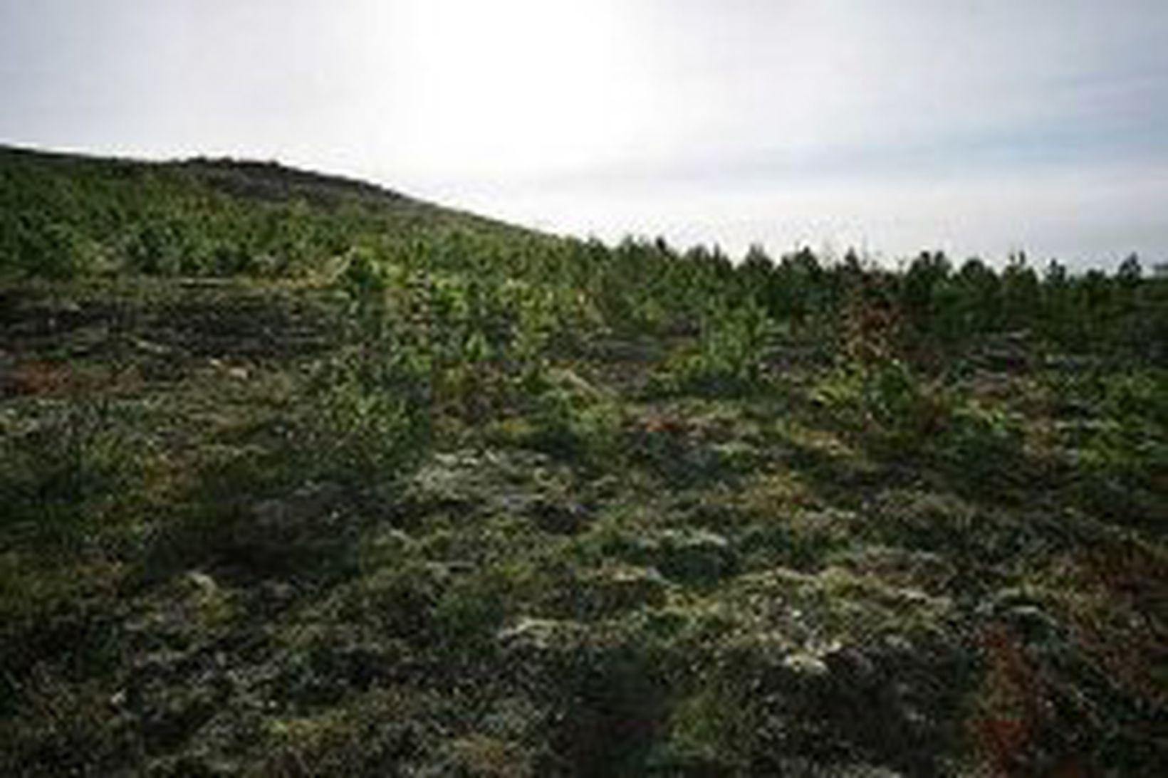 Skógur við Reynisvatnsás í Grafarholti
