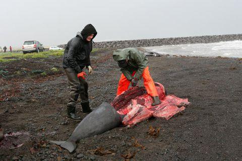 Grindhvalur skorinn í fjörunni í Rifi á Snæfellsnesi.