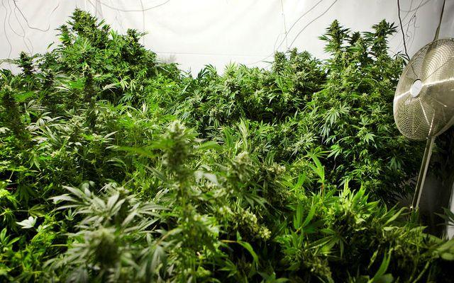 Kannabisplöntur í fullum blóma.