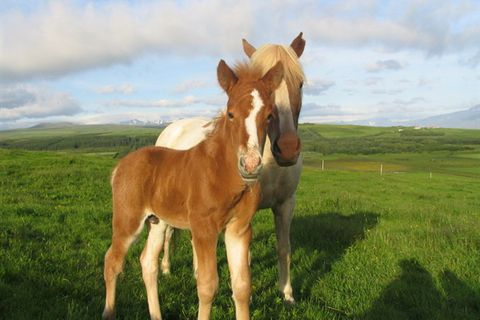 Torfastaðir horsefarm and ridingtours