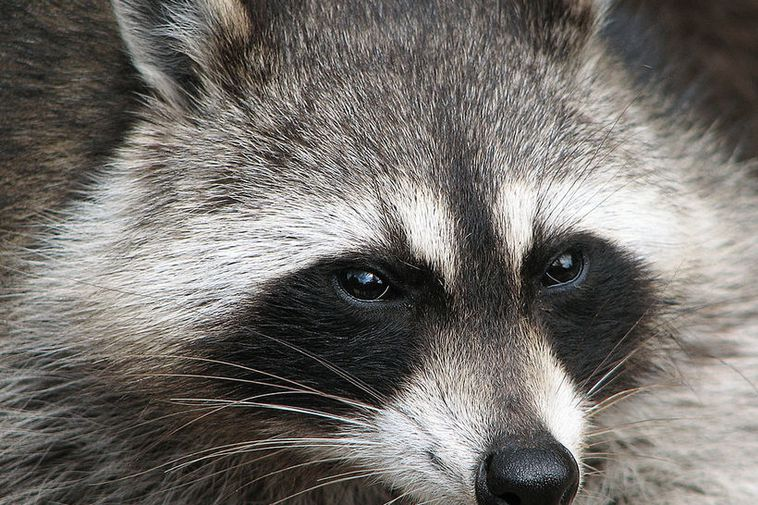 This is a raccoon, but not the exact raccoon in question.